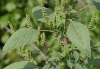 Amaranthus-Hybridus-Green-Pigweed-Amaranth-Edible~~element27