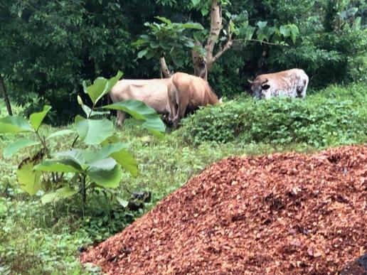 Rare siting of cows in Kenema